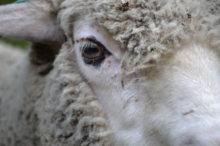 Eye of a sheep