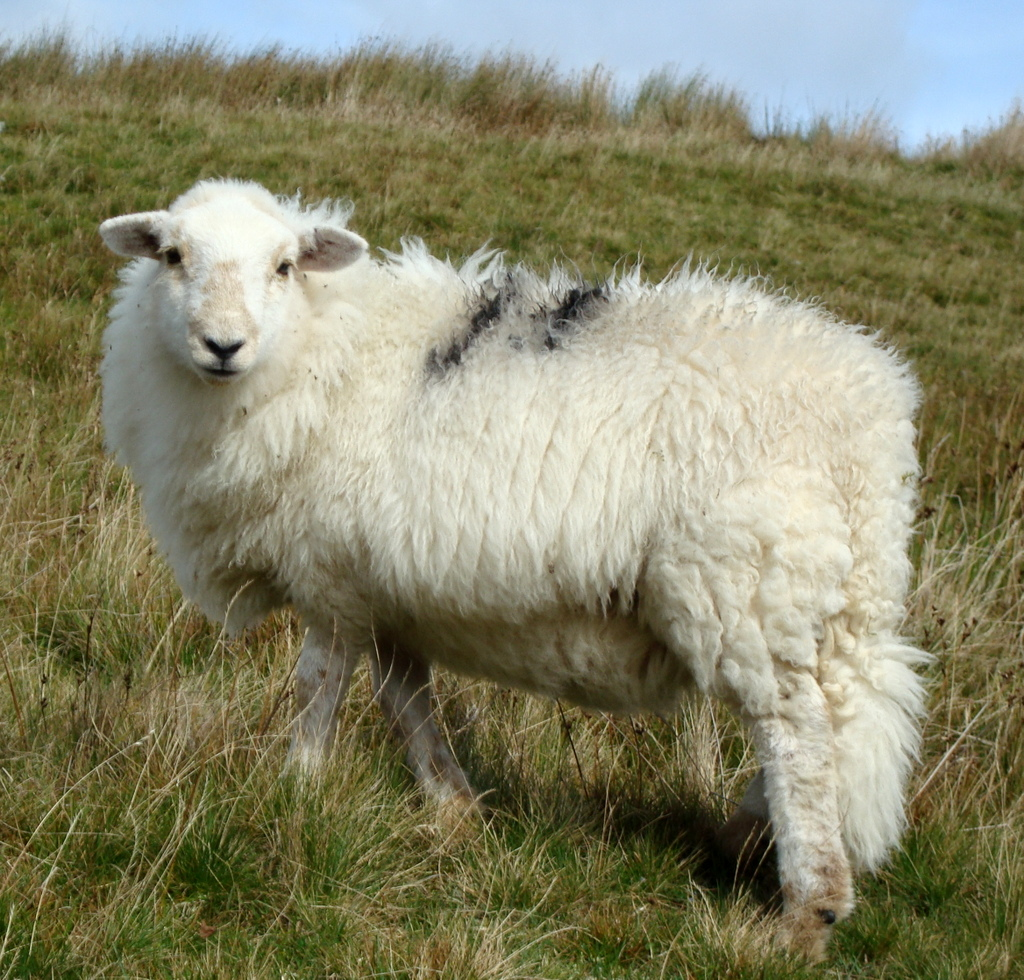 why sheep need our protection rosy green wool